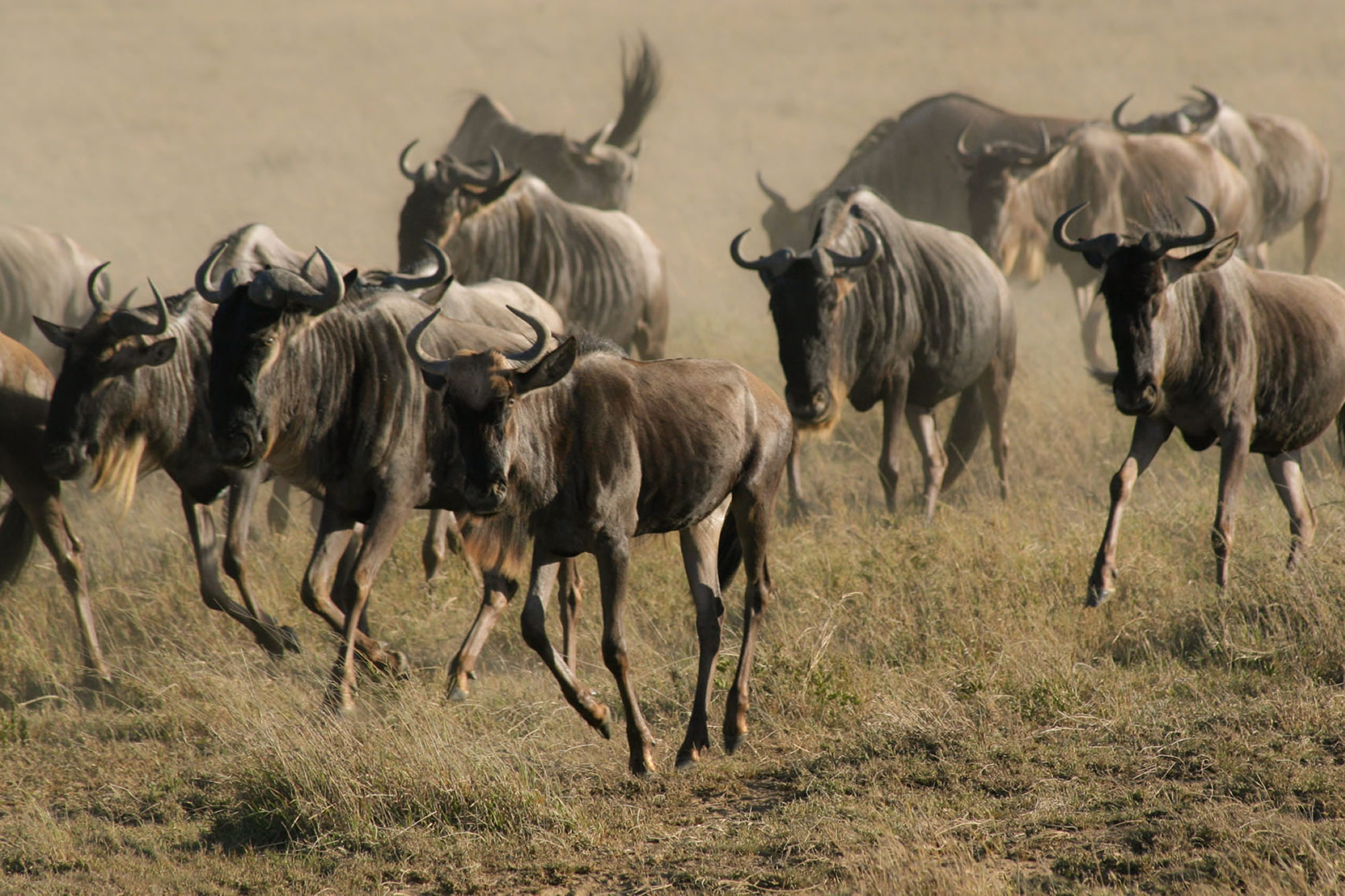 admin/uploads/attractions/Wildebeest Migration