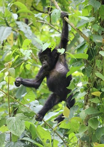 Baby Gorilla In Uganda