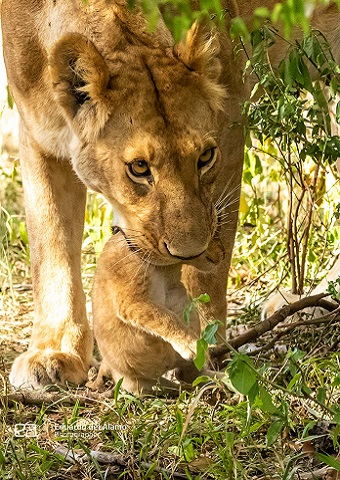 Lion carrying a baby