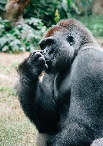 Rwanda Gorilla Pose